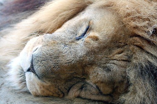 The Lion sleeps tonight.... | by law_keven