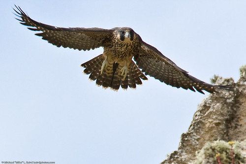 8 of 9 Peregrine Falcon Juvenile Fledgling, Morro Bay, CA 27 May 2008 | by mikebaird