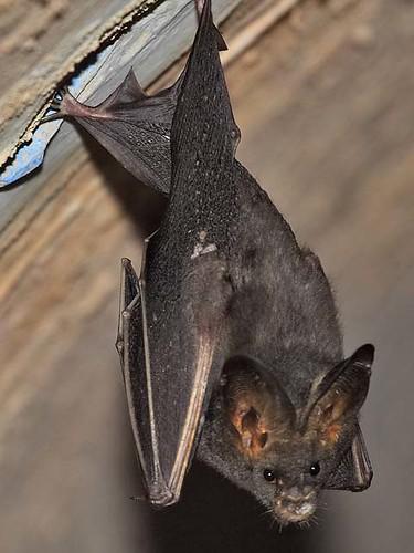 asian lesser false vampire bat