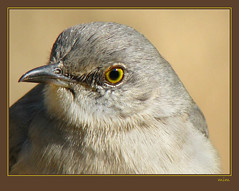 mockingbird head | by mimbrava