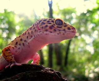 Woodland Gecko | by cat.read