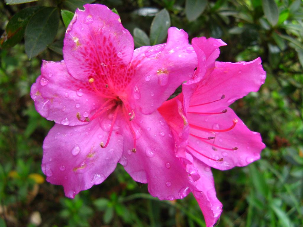 Pink Azalea Flower Ceret Sao Paulo Brazil Mauro Halpern Flickr