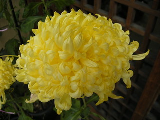 Chrysanthemum | by JapanVisitor