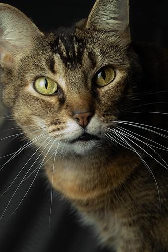 Savannah Cat Rescue Ontario