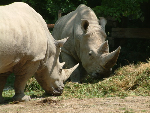 Rhinoceroes / Rinoceronti | by bigmike.it