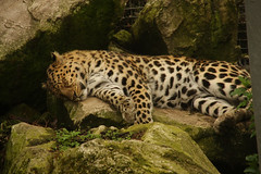 Leopard Sleeping - 05/05/08 | by Paula Bird Parent