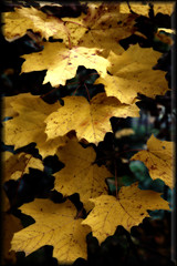 Yellowed Maple leaves | by Milkman47