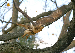 RED TAILED HAWK TAKEOFF | by jayhawk6