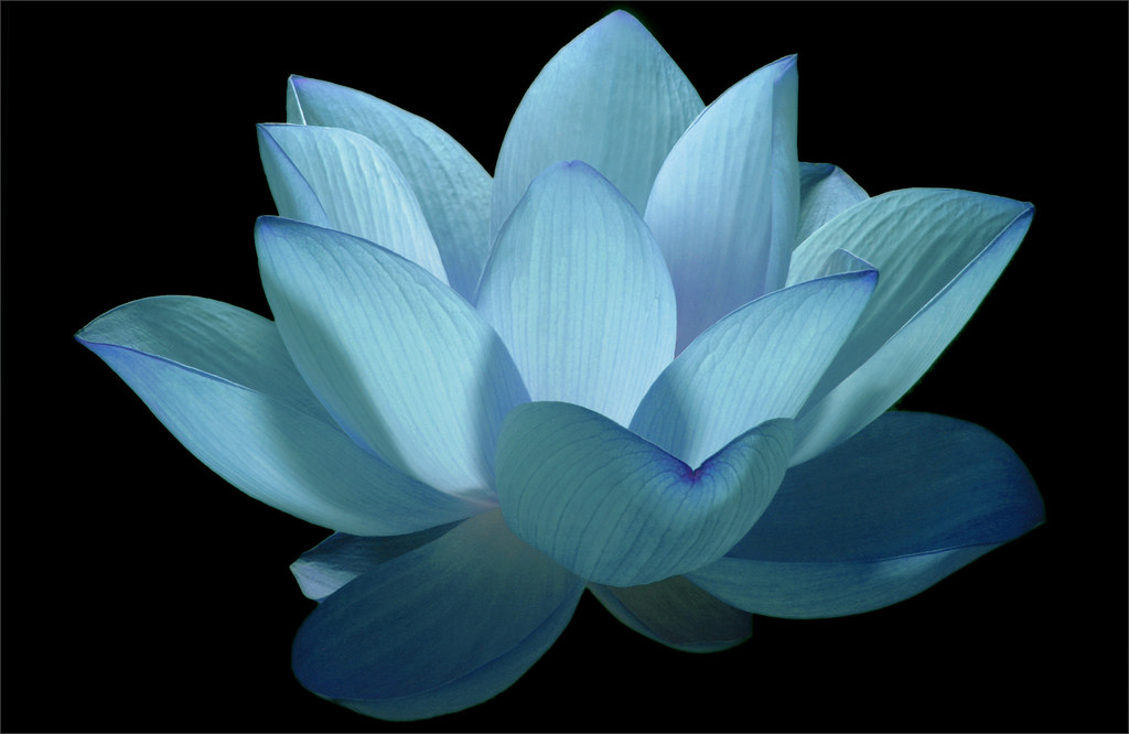 flower / blue flower / lotus flower / water / lily / water…  flickr, Natural flower