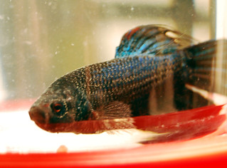 Sick betta fish nasa 39 s ich when i was looking for a for Sick betta fish