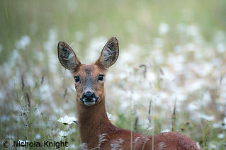 Roe Deer (Capreolus capreolus) (Explore) | by Wide World Images