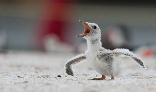 "Baby Black Skimmer ""I think I can fly"" (Explore) 