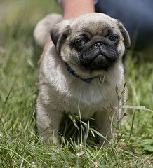 oliver pug | by Christopher.Michel