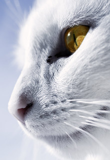 The whitest cat I know | by Villi.Ingi
