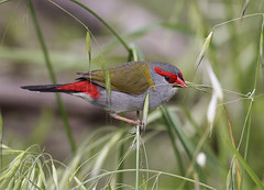 Red-browed Finch | by 0ystercatcher