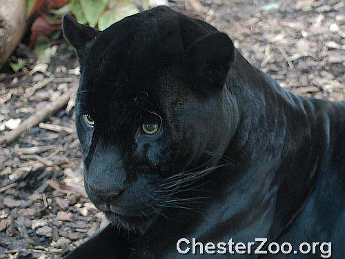 Black Jaguar Close Up Of One Of Chester Zoo S Most Beautif Flickr