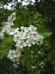 Crataegus monogyna | by James's GW Blog