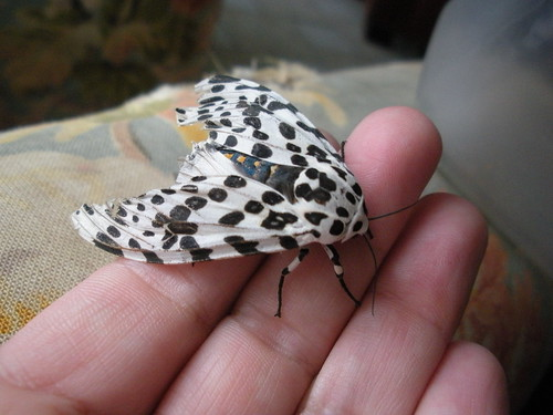 leopard moth | by eren {sea+prairie}