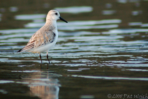 Solitary sanderling | by Pat Ulrich