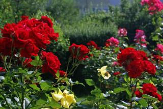 My Rose Garden | by Suzanne's stream