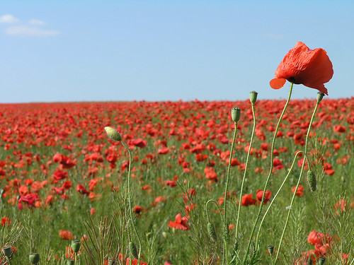 Sea of poppies 2 | by Romeodesign
