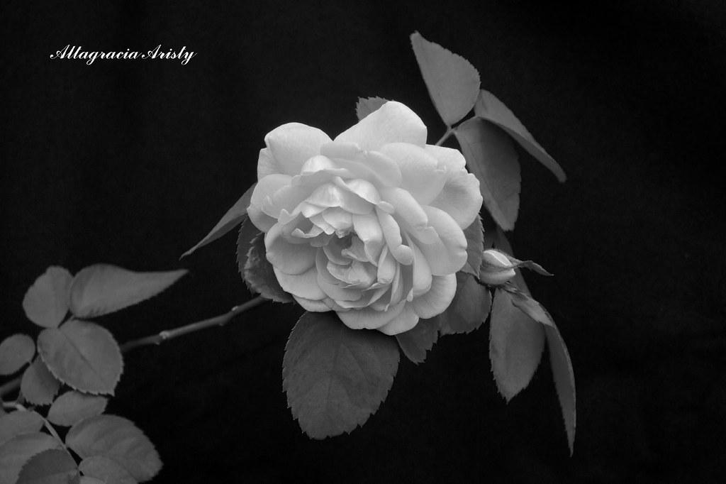 Rosa En Blanco Y Negrorose In Black And Whiterosa In Bia Flickr