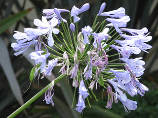 Lily of the Nile (Agapanthus) | by bonnyglen