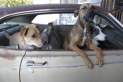3 dogs in an old car | by Alison Kaiser Photography