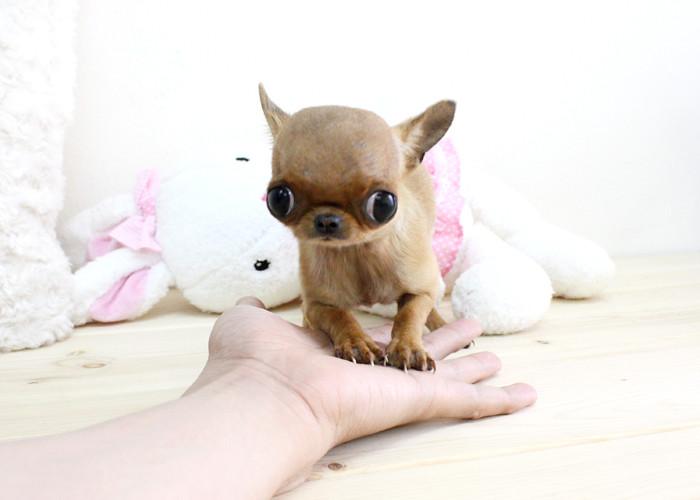 boutique teacup puppies