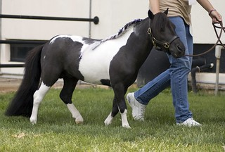 Miniature Horse Stallion | by Dog Is Love