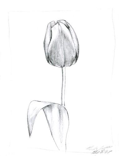 tulip sketch mashalevene flickr