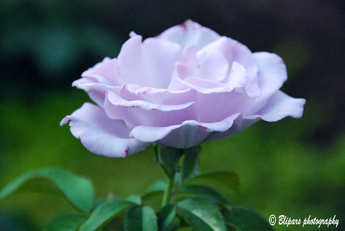 Blueberry Hill - Floribunda Rose | by blipars