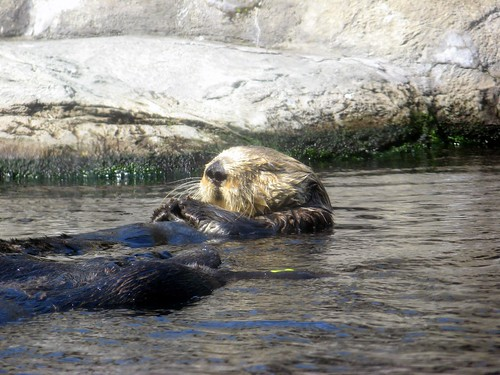 Sea Otter! | by HarshLight
