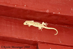 Gekko swinhonis | by Kevin Messenger