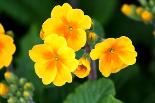 Yellow Primrose | by pirate_renee