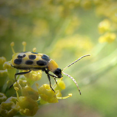 Spotted cucumber beetle | by wolfpix
