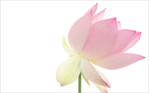 pink lotus flower img  lotus flower lotus flowers h…  flickr, Beautiful flower