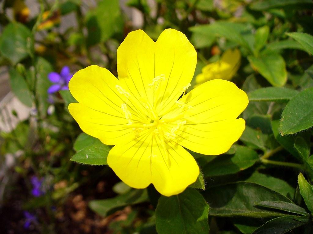 Fiori Gialli Yellow Flowers.Piccolo Fiore Giallo Little Yellow Flower Fioresoleil Flickr