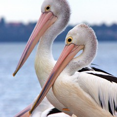 pelicans | by -hedgey-