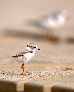 Under/Over The Boardwalk ~ Endangered Piping Plover Chick | by William  Dalton