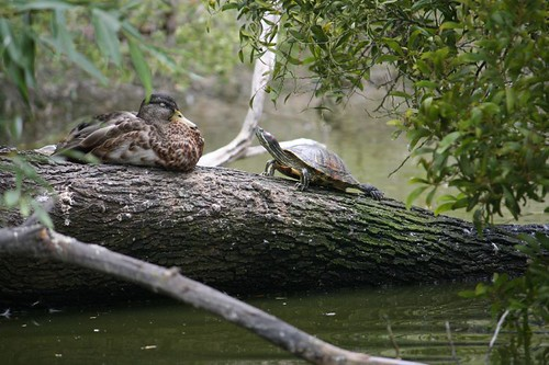 Duck and Turtle. | by creativemom