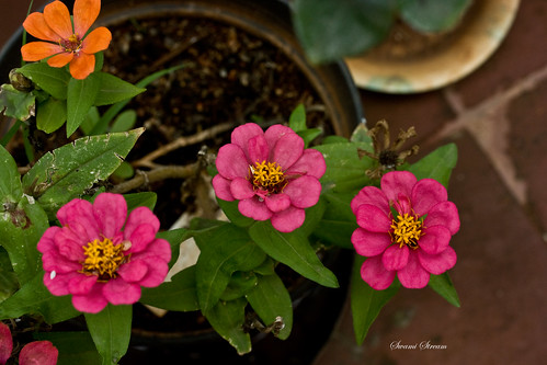 3 Zinnia | by Swami Stream