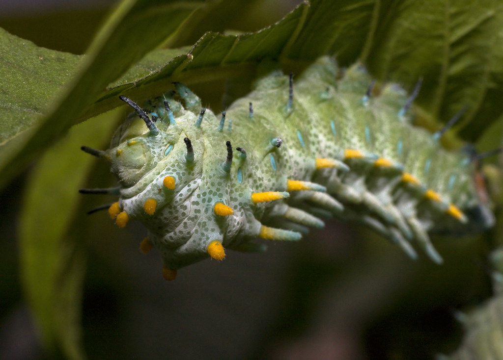 Chenille Caterpillar Papillon atlas moth (attacus atlas) caterpillar - chenille de papil… | flickr