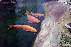 Gimme something to eat the koi fish pond at the otani for Can you eat koi fish