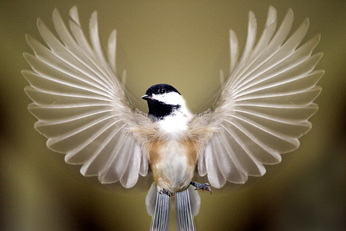 Chickadee Wings Spread | by Vermont Lenses