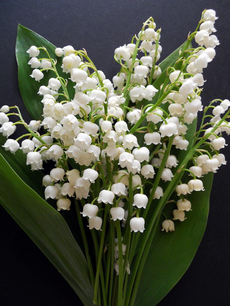 Lily of the valleyconvallaria majalis sweetest of the flo flickr lily of the valleyconvallaria majalis by malinybi izmirmasajfo Images