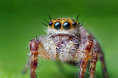 Young Phidippus Jumping Spider | by Thomas Shahan