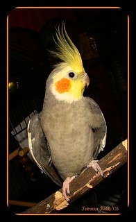 Cockatiel With Attitude | by swt snookie