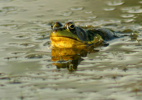One Fine Evening At The Frog Pond... | by Catherine Jamieson