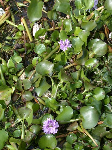 Water hyacinth: not always evil | by East Asia & Pacific on the rise - Blog
